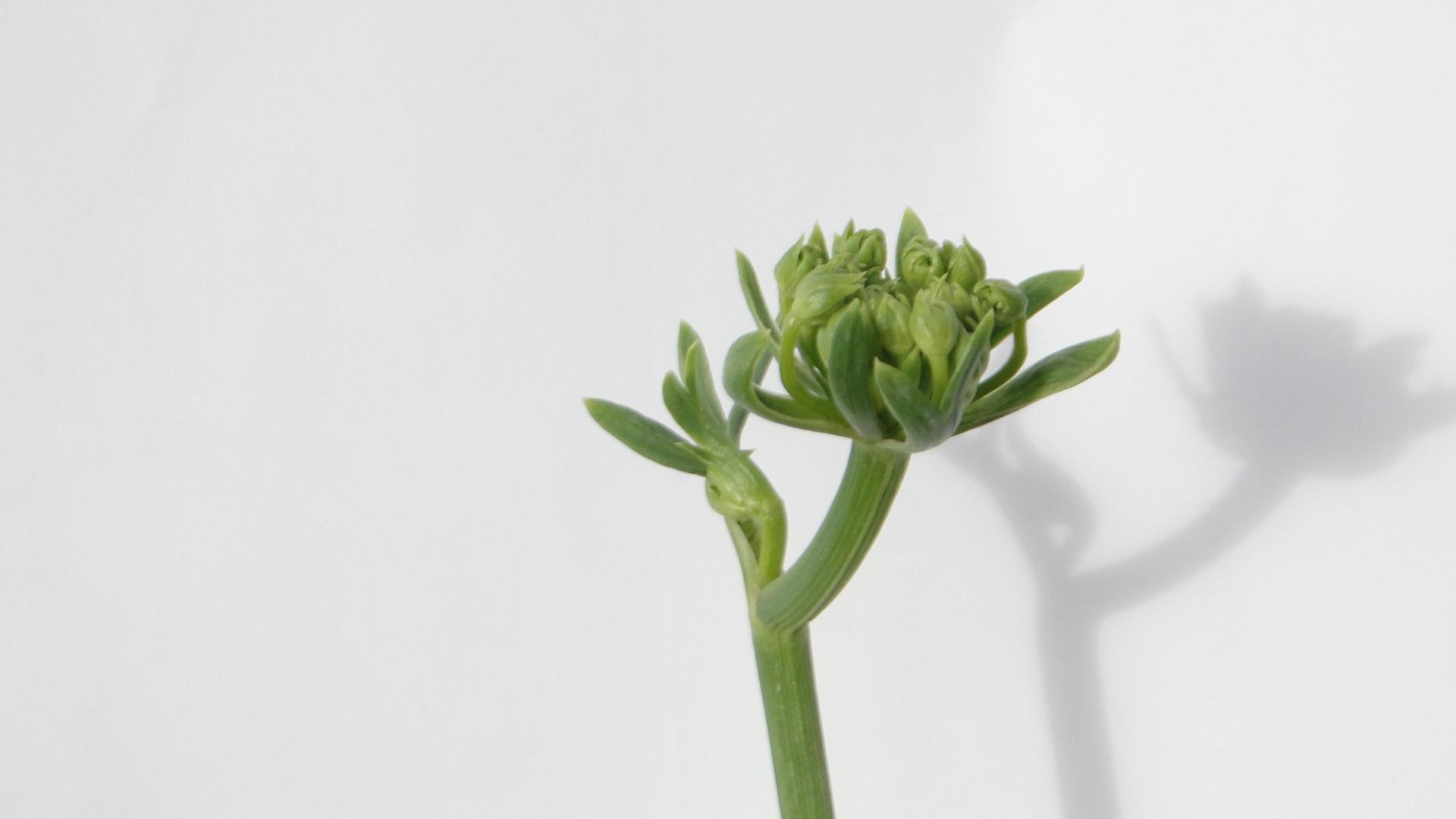海茴香開花結種子過程